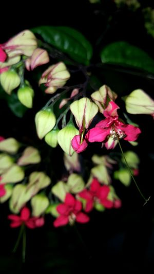 Pink Flowers Flowers Flowers At Night Pink Flowers In Bloom Tiny Flowers Evening Flowers Showcase July