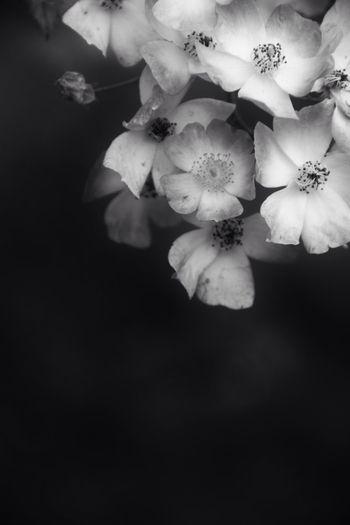 Softy bnw Bnw Flowers