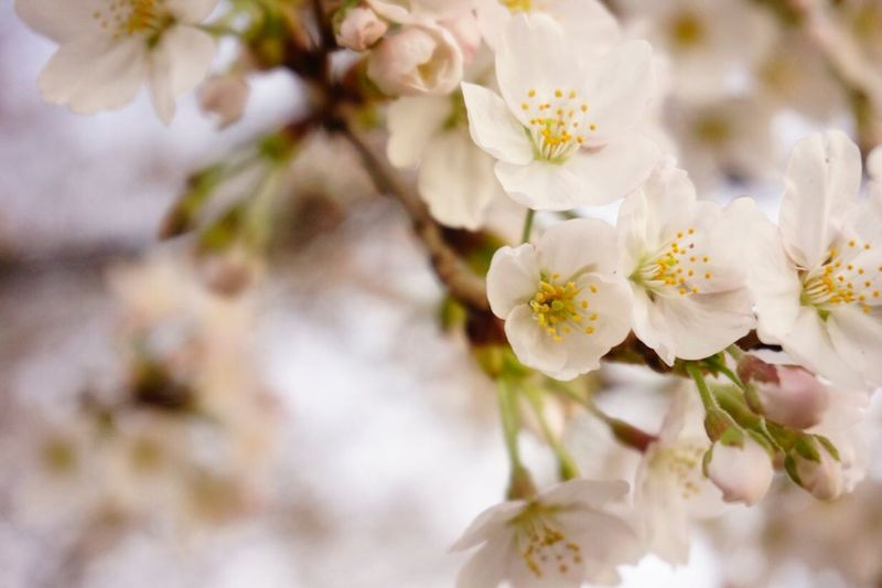 Close-Up Of White Cherry Blossoms On Branch