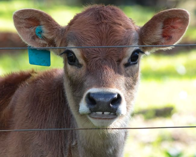 Santuary Country Australia Rescued Friendnotfood Animal Nose Cute EyeEm Selects Portrait Looking At Camera Agriculture Close-up Livestock Cow Livestock Tag Calf Herbivorous Animal Pen Farm Animal Dairy Farm Cattle