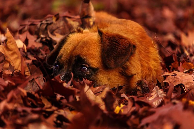 Close-Up Of Dog Resting On Autumn Leaves