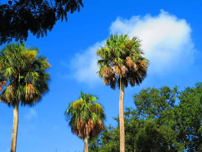 Tropical trees, blue and cloud Blue Sky Cloud Tree Palm Tree Tree Area Blue Tree Trunk Pine Tree Pinaceae Sunny Forest