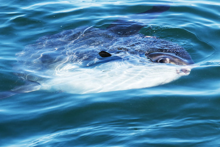 A sunfish is swimming in the atlantic ocean off of the coast of maine on summer afternoon.