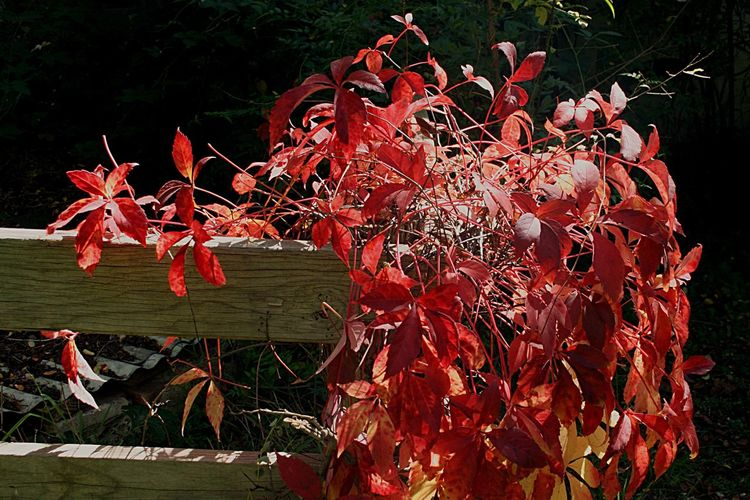 Autumn vine Autumn🍁🍁🍁 Autumn On A Fence Autumn In The Country