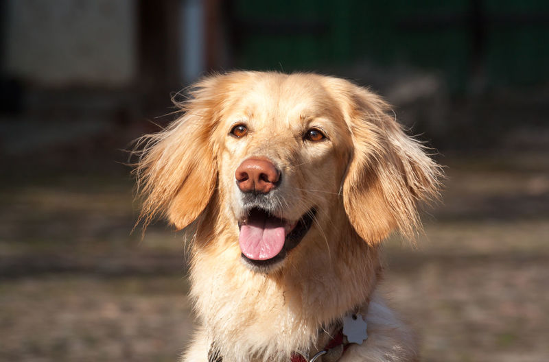 Animal Themes Close-up Day Dog Feeling Good Golden Hour Golden Retriever Hovawart No People One Animal Outdoors Pets Portrait Springtime Sunlight Sunlight And Shadow Sunshine Pet Portraits