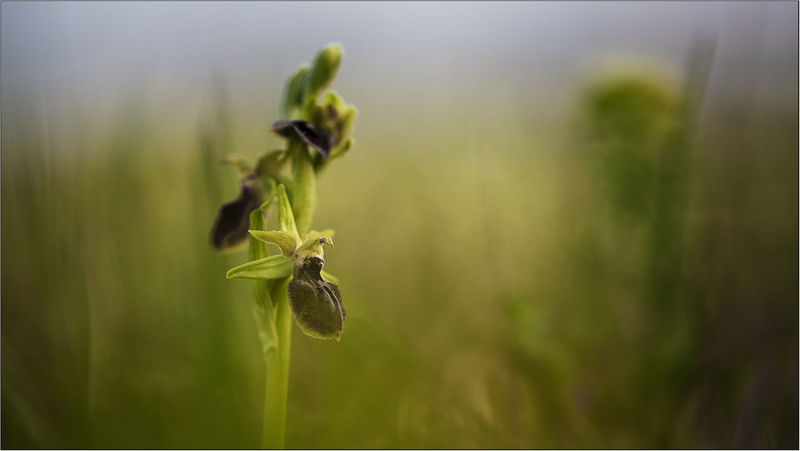 ophrys orchidea selvatica Agriculture Animal Themes Animal Wildlife Animals In The Wild Beauty In Nature Close-up Day Flower Focus On Foreground Freshness Growth Insect Nature No People One Animal Outdoors Plant