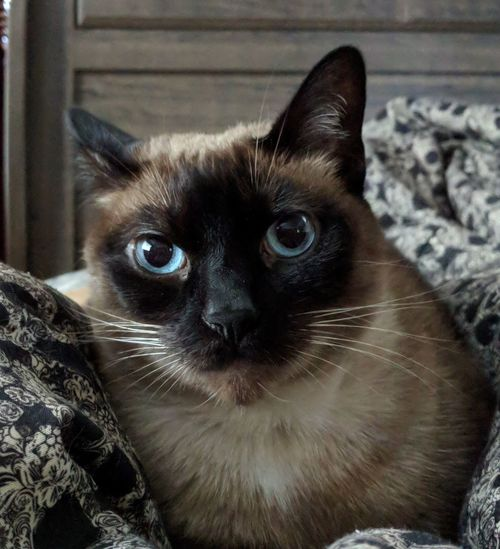 Whiskers Cat Lovers Cat Lovers Blue Eyes Nooni Check This Out Deep Thoughts Cat Kitty Cat Siamese Cat Pets Portrait Sitting Feline Domestic Cat Kitten Looking At Camera Home Interior Alertness
