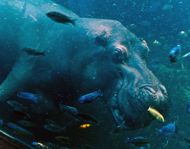 Close-Up Of Hippo In Water
