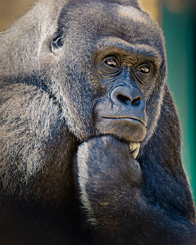 Close-up of gorilla looking away while sitting outdoors