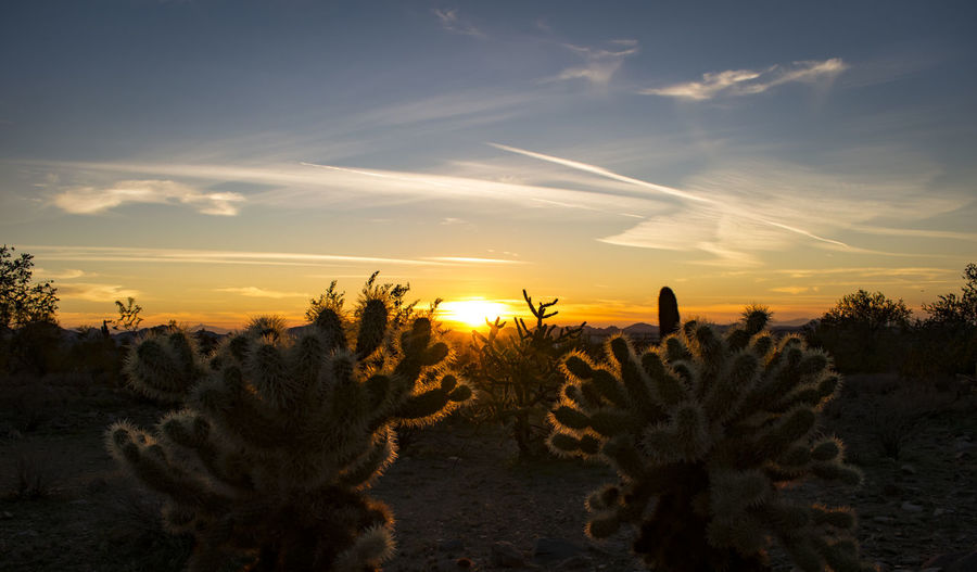 Cactus plants growing on field against sky during sunset