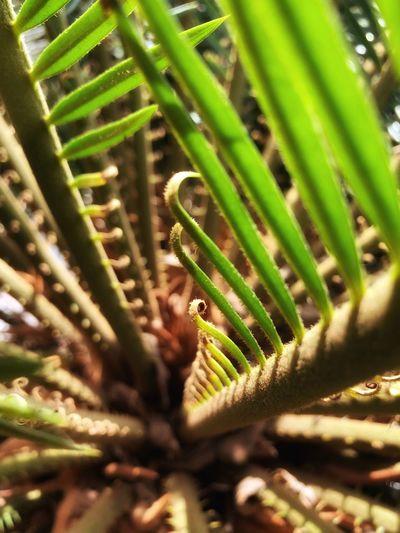 Leaves Palm