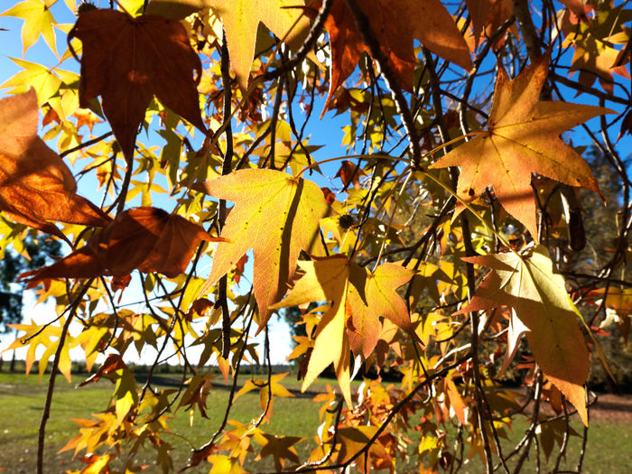 Close-up of yellow maple leaves on tree