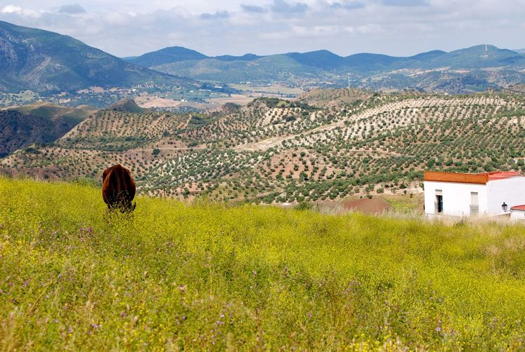 Over the Sierras. Andalucía Architecture Beauty In Nature Building Exterior Built Structure Cow Day Field Grass Landscape Mountain Mountain Range Nature Olive Groves Outdoors People Scenics Sky Tranquility