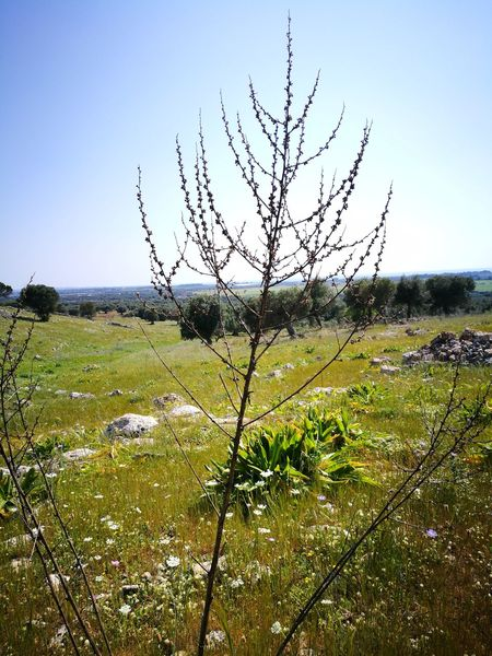 Nature Sky Outdoors Beauty In Nature Rural Scene Green Color Tranquility No People Plant Tree Scenics Day Clear Sky Sunlight Leaf Green Color Salento Puglia Lecce My Country Tree Uncultivated Travel Destinations
