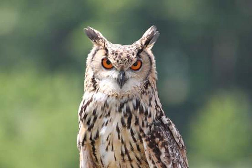 Close-up Outdoor Photography Kasteelruïne Valkenburg | Fluweelengrot  Owl Portrait. UIL Owl Nature Photography Beauty In Nature Canoneos1300D Valkenburg Fresh On Eyeem  The Week On Eyem