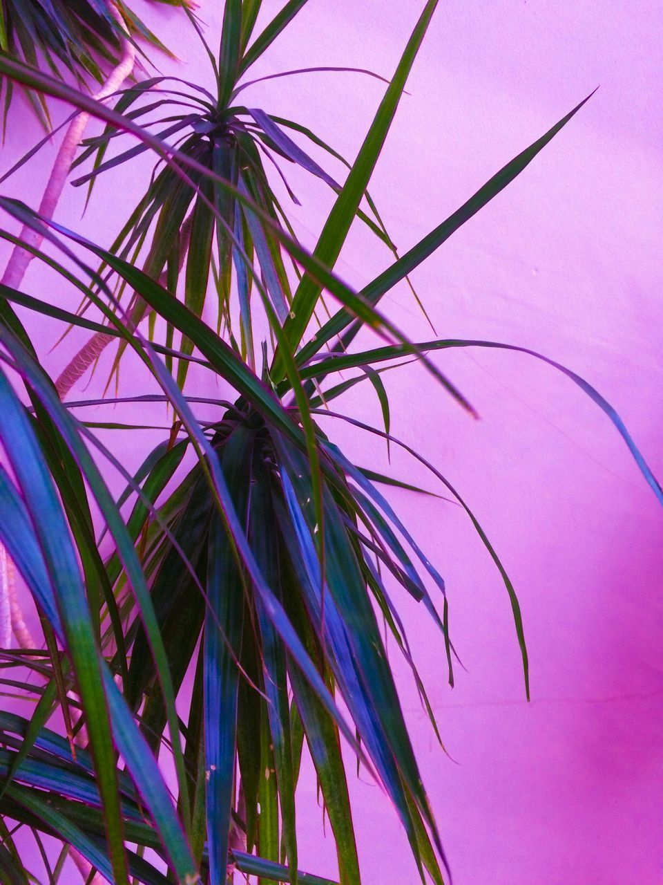 plant, growth, close-up, beauty in nature, no people, pink color, leaf, plant part, nature, purple, indoors, day, freshness, green color, flower, vulnerability, flowering plant, selective focus, fragility, palm leaf