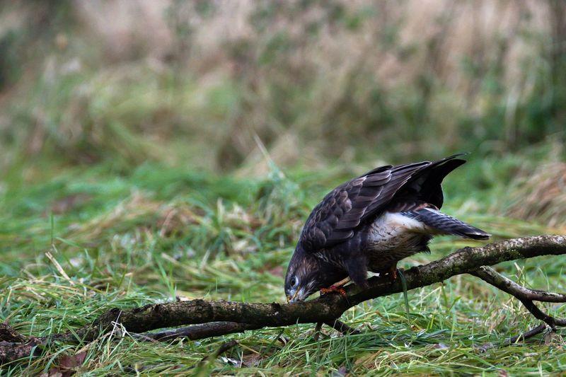 Eurasian buzzard on stick over grassy field