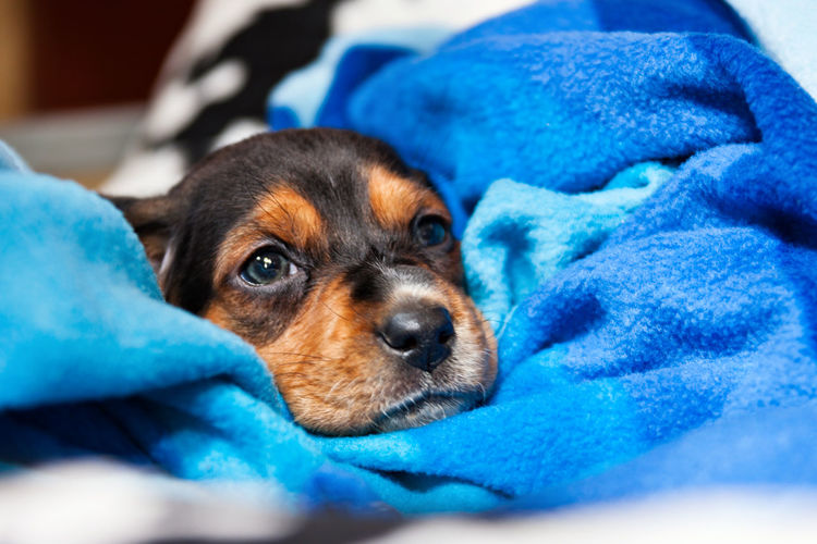 Animal Themes Blue Close-up Day Dog Domestic Animals Indoors  Mammal No People One Animal Pets Portrait Puppy Relaxation