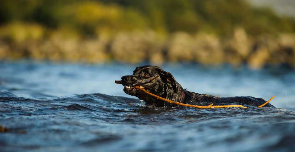 Black Labrador Retriever dog Animal Theme Animal Themes Black Black Lab Canine Day Dog Lab Labrador Retriever No People One Animal Outdoors Pets Retriever Swimming Water