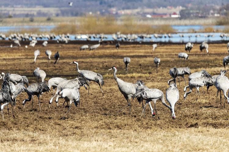 Flock of birds on the field
