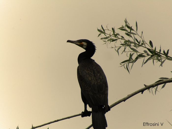 Animal Themes Beauty In Nature Bird Day Kormoran Low Angle View Nature Tranquility Tree Wildlife