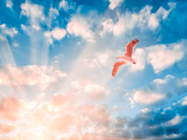 Seagull spreading wings in setting sun rays. Rays Of Light Seagulls Animal Themes Beauty In Nature Birds Cloud - Sky Clouds Day Flying Low Angle View Mid-air Nature No People One Animal Outdoors Rays Sky