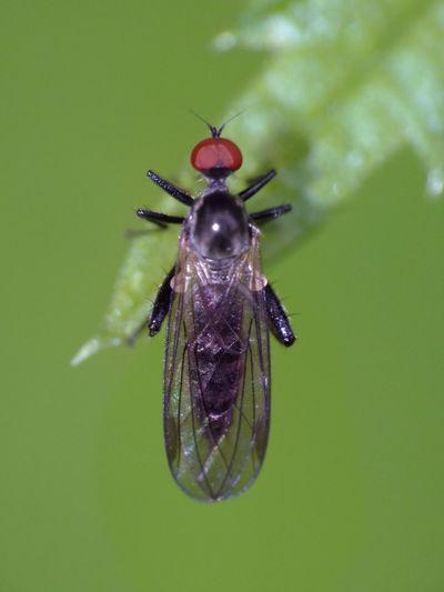 Empidoidea - Serchio river Empidoidea Insect Macro  Insecta Panorpoidea Animal Themes Animals In The Wild Arthropoda Balloon Fly Brachycera Close-up Dagger Fly Dance Fly Diptera Hexapoda Insect Insect Close-up Nature
