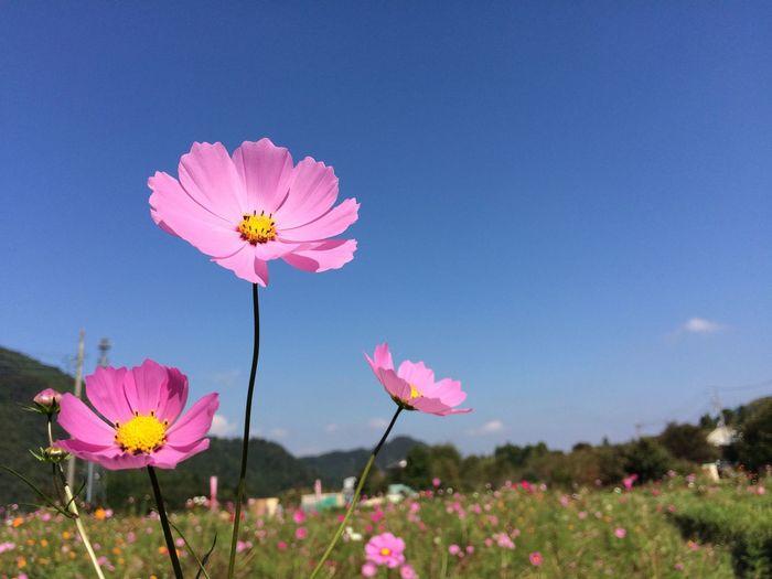 Flowers Sky 空 秋 Autumn Cosmos コスモス 花