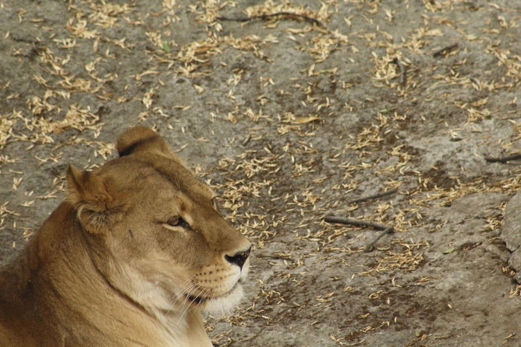 Side View Of Relaxed Lioness Looking Away