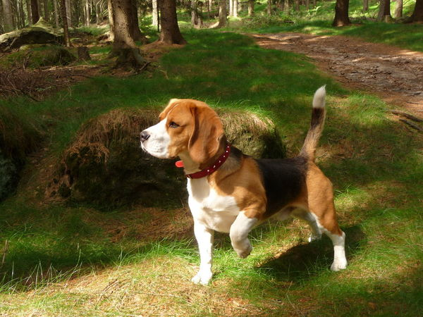 Forrest Photography Animal Themes Attentively Beagle Day Dog Domestic Animals Forrest Grass Mammal Nature No People One Animal Outdoors Pet Collar Pets Standing Summer Tree