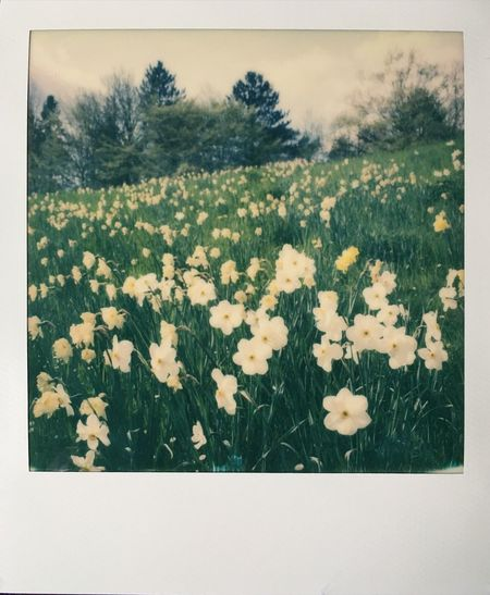 some flowers in the morning... :) Spring Flowers Sunny Day Sunshine Spring Flowers Tranquil Scene Sky And Clouds Analogue Photography Impossible Project Polaroid Slr680 Film Photography Impossible Outdoors No People Nature Sunlight