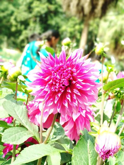 Flower Flowering Plant Plant Beauty In Nature Freshness Flower Head Fragility Pink Color Inflorescence Petal Close-up Growth Nature Focus On Foreground Day Blossom Botany No People Springtime Vulnerability  EyeEmNewHere Adventures In The City