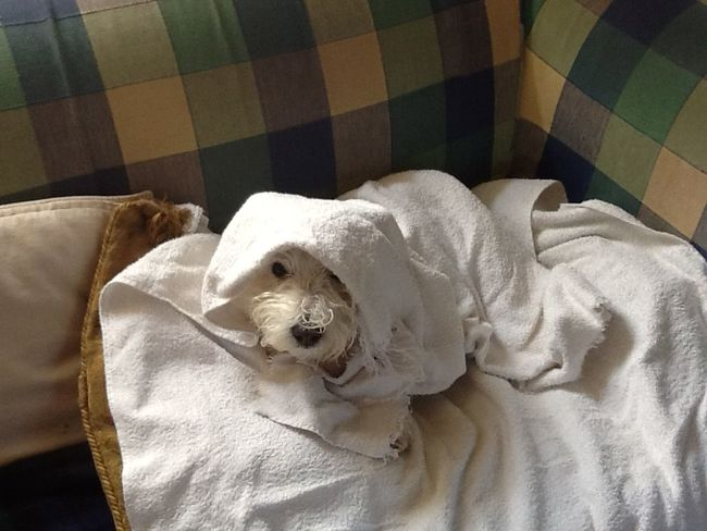 Washed and grumpy Animal Themes At Home Dog Domestic Animals Indoors  No People One Animal Pets