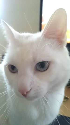 Yuki✌ Blue & White EyeEm Cats 🐱 Looks shy..