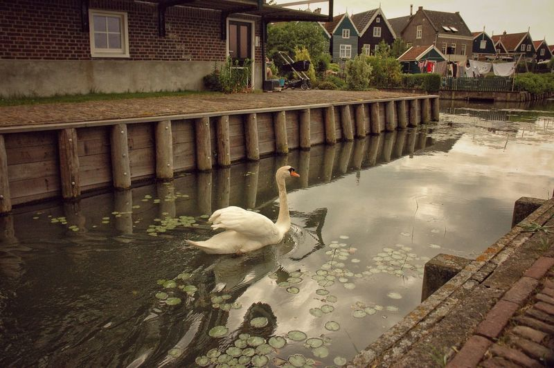 Photography Picoftheday Swimming Animals In The Wild Swan Nature Water Animal Themes All_shots Ig_worldclub Travel Photography Ig_captures Worldwide_shot Bnwphotography Marken ❤️ Animal Wildlife Architecture Built Structure Building Exterior Bird Outdoors Day No People