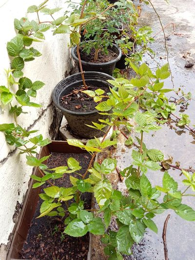 Blackberry แบล็คเบอร์รี่ Growth Plant Day Outdoors Nature Leaf No People
