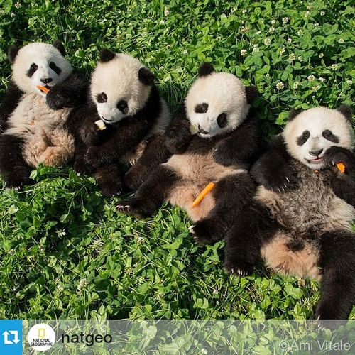 Başkanlar Repost @natgeo ・・・ Photo by @amivitale Onassignment for @natgeo. I'm in China and so grateful for the rare and exclusive access into the world of pandas. I was able to photograph these four bundles of love at the Dujiangyan Panda Base. It's incredible that an animal this elusive and rare became so beloved and popular around the world. The giant panda was not known outside of China until 1869. Pandas Ipanda Pandacub Giantpanda Dujiangyan Chengdu Sichuan China Natureispeaking Nikon Nikonbassador Nikonnofilter Amivitale Photojournalism @ipandacam @natgeocreative @thephotosociety @nikonusa