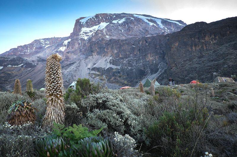 Giant Lobelia Lobelia Riesenlobelien Lobelien Barranco Camp (3.900 M) Mount Kilimanjaro Kilimanjaro Nature Tanzania Tansania SevenSummits 7summits Camp Trekking Adventure Mountain Range Mountain FUJIFILM X-T1 EyeEmNewHere