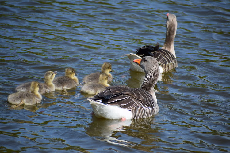 'Geese Family