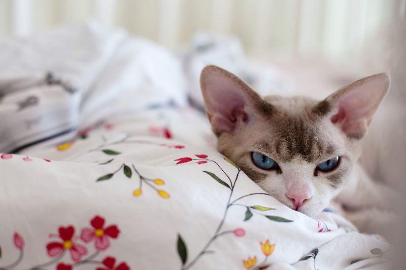 Animal Themes Pets Nap Time Cat Devonrex 💙💙