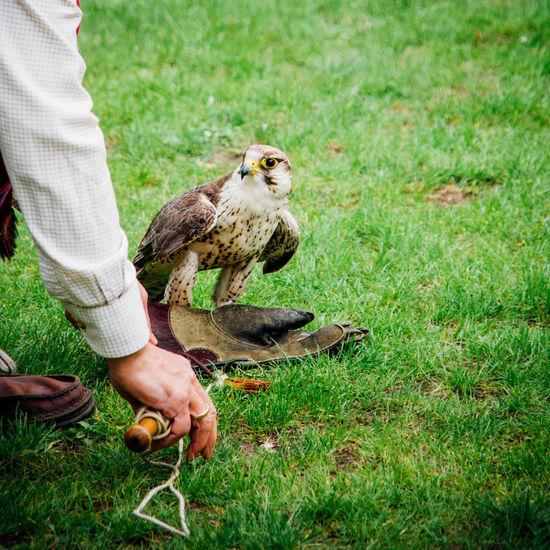 Avian Bird Bird Of Prey Bird Portait Falcon Falconry Falconry Display Grass Green