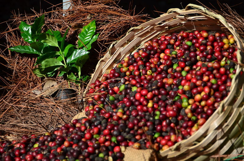 Café do Brasil - colheita • Coffee Coffee Plant Harvest Brasil Brasil ♥ Cafe Sao Paulo - Brazil Fruit Basket Agriculture Food And Drink Crop  Food Nature Red Freshness Growth Outdoors Day No People Close-up