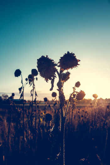 Dead Sunflowers Autumn Autumn Colors Beauty In Nature Clear Sky Copy Space Dead Dead Flowers Dead Sunflowers Fall Fall Beauty Fall Colors Field Growth Landscape Nature Outdoors Plant Scenics Silhouette Sky Sunflowers Sunset Tranquil Scene Tranquility