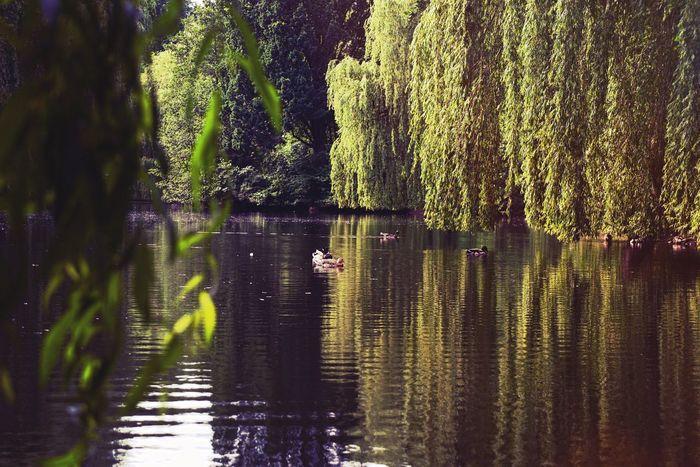 """Ducks in the Hamburg parc """"Am Weiher"""""""