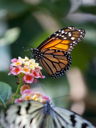 Close-up of butterflies on lantana camaras blooming outdoors