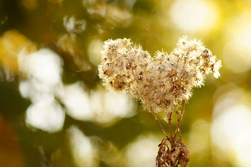 Beauty In Nature Bokeh Close-up Flower Flower Head Fragility Growth Heart Heart Shape Heart Shaped  Heart Shaped Plant Love Nature No People Outdoors Plant Summer Sunlight Wallpaper Warm