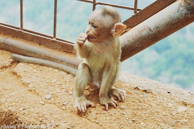 Infant monkey Monkey Infant Eating Chewing Day Background Landscape Animal Young Animal Animal Themes One Animal Outdoors No People Lonavala Maharashtra India Fresh On Eyeem  Adapted To The City Resist