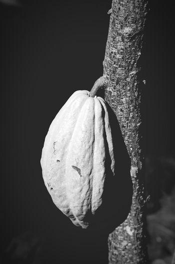 Cacao-pod Cacao Chocolate Nature Black & White カカオ カカオポッド 植物 Naturaleza Naturaleza🌾🌿 Naturaleza🌵🌻🎶
