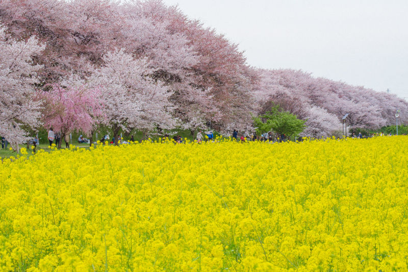 Agriculture Beauty In Nature Blossom Cherry Blossom Environment Field Flower Flowerbed Flowering Plant Fragility Freshness Growth Land Landscape Nature No People Outdoors Plant Rural Scene Scenics - Nature Springtime Tranquil Scene Tree Yellow
