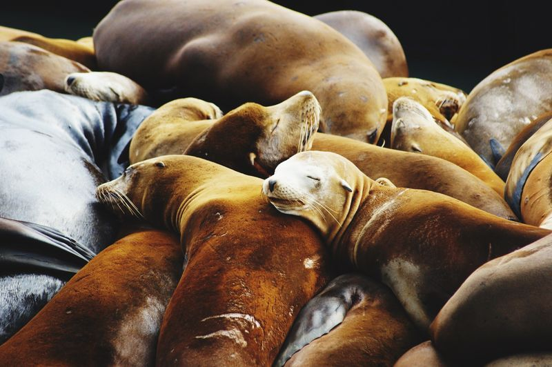 Sea lions sleeping on fishermans wharf